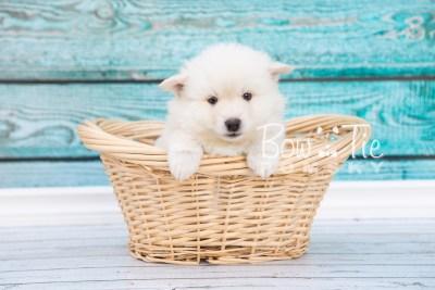 puppy24-week6-bowtiepomsky-com-bowtie-pomsky-puppy-for-sale-husky-pomeranian-mini-dog-spokane-wa-breeder-blue-eyes-pomskies-photo_fb-1