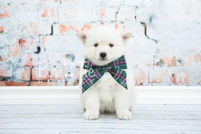 puppy24-week6-bowtiepomsky-com-bowtie-pomsky-puppy-for-sale-husky-pomeranian-mini-dog-spokane-wa-breeder-blue-eyes-pomskies-photo_fb-6