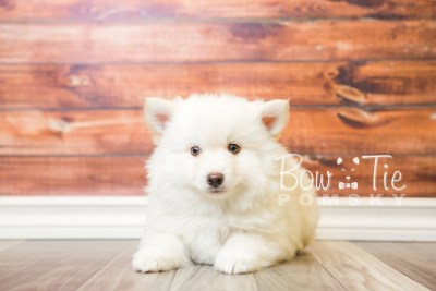 puppy24-week8-bowtiepomsky-com-bowtie-pomsky-puppy-for-sale-husky-pomeranian-mini-dog-spokane-wa-breeder-blue-eyes-pomskies-bowtie_pumsky_fb-0234