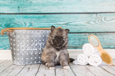 puppy25-week4-bowtiepomsky-com-bowtie-pomsky-puppy-for-sale-husky-pomeranian-mini-dog-spokane-wa-breeder-blue-eyes-pomskies-photo_fb-9