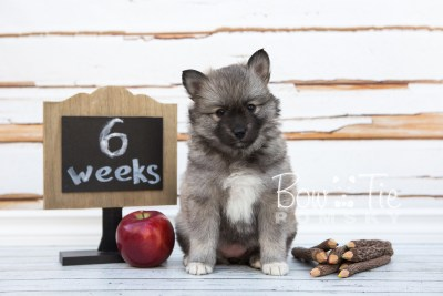 puppy25-week6-bowtiepomsky-com-bowtie-pomsky-puppy-for-sale-husky-pomeranian-mini-dog-spokane-wa-breeder-blue-eyes-pomskies-photo_fb-12