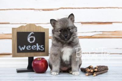 puppy25-week6-bowtiepomsky-com-bowtie-pomsky-puppy-for-sale-husky-pomeranian-mini-dog-spokane-wa-breeder-blue-eyes-pomskies-photo_fb-12