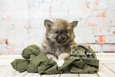 puppy25-week8-bowtiepomsky-com-bowtie-pomsky-puppy-for-sale-husky-pomeranian-mini-dog-spokane-wa-breeder-blue-eyes-pomskies-bowtie_pumsky_fb-0383