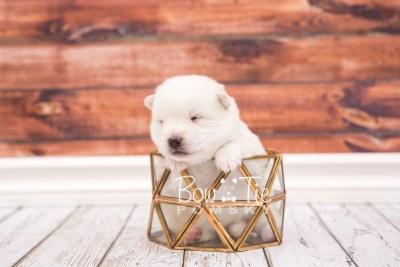 puppy26 week2 BowTiePomsky.com Bowtie Pomsky Puppy For Sale Husky Pomeranian Mini Dog Spokane WA Breeder Blue Eyes Pomskies photo-photo_fb-2