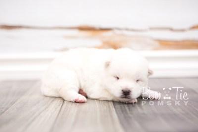 puppy26 week2 BowTiePomsky.com Bowtie Pomsky Puppy For Sale Husky Pomeranian Mini Dog Spokane WA Breeder Blue Eyes Pomskies photo-photo_fb-7