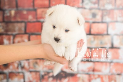 puppy26-week4-bowtiepomsky-com-bowtie-pomsky-puppy-for-sale-husky-pomeranian-mini-dog-spokane-wa-breeder-blue-eyes-pomskies-photo_fb-19
