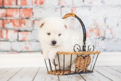 puppy26-week4-bowtiepomsky-com-bowtie-pomsky-puppy-for-sale-husky-pomeranian-mini-dog-spokane-wa-breeder-blue-eyes-pomskies-photo_fb-20