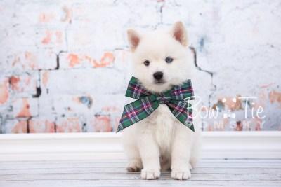 puppy26-week6-bowtiepomsky-com-bowtie-pomsky-puppy-for-sale-husky-pomeranian-mini-dog-spokane-wa-breeder-blue-eyes-pomskies-photo_fb-18