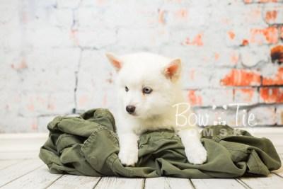 puppy26-week8-bowtiepomsky-com-bowtie-pomsky-puppy-for-sale-husky-pomeranian-mini-dog-spokane-wa-breeder-blue-eyes-pomskies-bowtie_pumsky_fb-0481