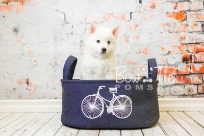 puppy26-week8-bowtiepomsky-com-bowtie-pomsky-puppy-for-sale-husky-pomeranian-mini-dog-spokane-wa-breeder-blue-eyes-pomskies-bowtie_pumsky_fb-0490