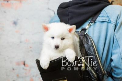 puppy26-week8-bowtiepomsky-com-bowtie-pomsky-puppy-for-sale-husky-pomeranian-mini-dog-spokane-wa-breeder-blue-eyes-pomskies-bowtie_pumsky_fb-0517