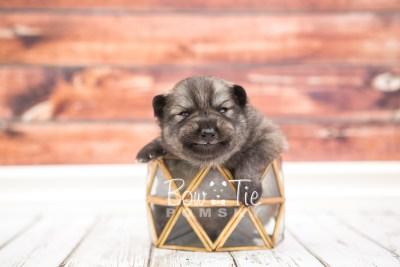 puppy27 week2 BowTiePomsky.com Bowtie Pomsky Puppy For Sale Husky Pomeranian Mini Dog Spokane WA Breeder Blue Eyes Pomskies photo-photo_fb-2