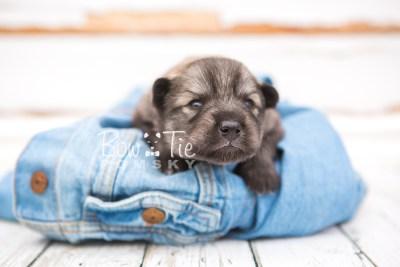 puppy27 week2 BowTiePomsky.com Bowtie Pomsky Puppy For Sale Husky Pomeranian Mini Dog Spokane WA Breeder Blue Eyes Pomskies photo-photo_fb-4