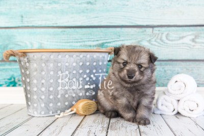 puppy27-week4-bowtiepomsky-com-bowtie-pomsky-puppy-for-sale-husky-pomeranian-mini-dog-spokane-wa-breeder-blue-eyes-pomskies-photo_fb-23