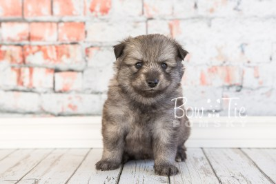 puppy27-week4-bowtiepomsky-com-bowtie-pomsky-puppy-for-sale-husky-pomeranian-mini-dog-spokane-wa-breeder-blue-eyes-pomskies-photo_fb-24
