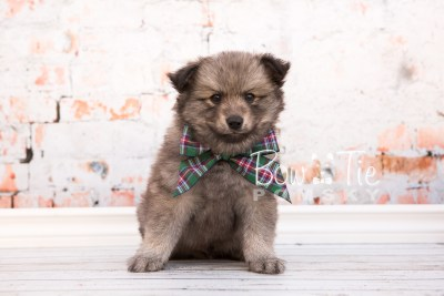 puppy27-week6-bowtiepomsky-com-bowtie-pomsky-puppy-for-sale-husky-pomeranian-mini-dog-spokane-wa-breeder-blue-eyes-pomskies-photo_fb-23