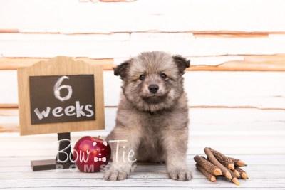 puppy27-week6-bowtiepomsky-com-bowtie-pomsky-puppy-for-sale-husky-pomeranian-mini-dog-spokane-wa-breeder-blue-eyes-pomskies-photo_fb-27