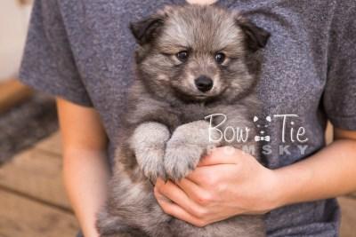 puppy27-week6-bowtiepomsky-com-bowtie-pomsky-puppy-for-sale-husky-pomeranian-mini-dog-spokane-wa-breeder-blue-eyes-pomskies-photo_fb-28