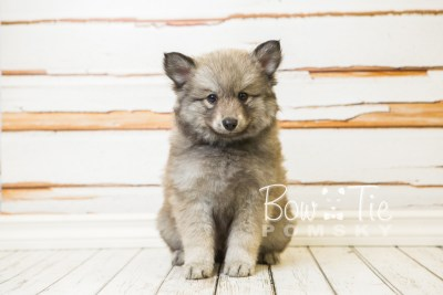 puppy27-week8-bowtiepomsky-com-bowtie-pomsky-puppy-for-sale-husky-pomeranian-mini-dog-spokane-wa-breeder-blue-eyes-pomskies-bowtie_pumsky_fb-0537