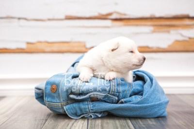 puppy28 week2 BowTiePomsky.com Bowtie Pomsky Puppy For Sale Husky Pomeranian Mini Dog Spokane WA Breeder Blue Eyes Pomskies photo-photo_fb-4