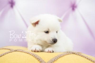 puppy28-week4-bowtiepomsky-com-bowtie-pomsky-puppy-for-sale-husky-pomeranian-mini-dog-spokane-wa-breeder-blue-eyes-pomskies-photo_fb-2