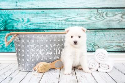 puppy28-week4-bowtiepomsky-com-bowtie-pomsky-puppy-for-sale-husky-pomeranian-mini-dog-spokane-wa-breeder-blue-eyes-pomskies-photo_fb-3