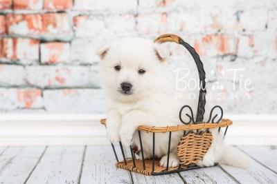 puppy28-week4-bowtiepomsky-com-bowtie-pomsky-puppy-for-sale-husky-pomeranian-mini-dog-spokane-wa-breeder-blue-eyes-pomskies-photo_fb-7