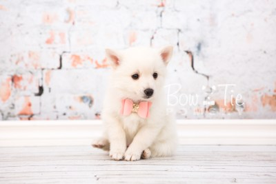 puppy28-week6-bowtiepomsky-com-bowtie-pomsky-puppy-for-sale-husky-pomeranian-mini-dog-spokane-wa-breeder-blue-eyes-pomskies-photo_fb-33