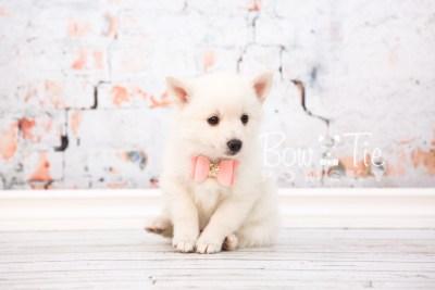 puppy28-week6-bowtiepomsky-com-bowtie-pomsky-puppy-for-sale-husky-pomeranian-mini-dog-spokane-wa-breeder-blue-eyes-pomskies-photo_fb-33