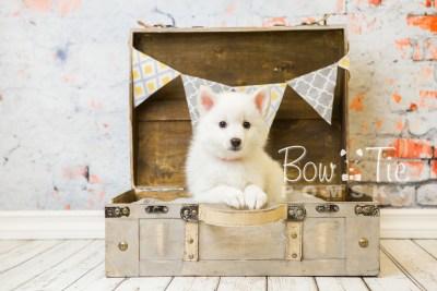 puppy28-week8-bowtiepomsky-com-bowtie-pomsky-puppy-for-sale-husky-pomeranian-mini-dog-spokane-wa-breeder-blue-eyes-pomskies-bowtie_pumsky_fb-0616