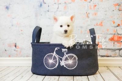 puppy28-week8-bowtiepomsky-com-bowtie-pomsky-puppy-for-sale-husky-pomeranian-mini-dog-spokane-wa-breeder-blue-eyes-pomskies-bowtie_pumsky_fb-0646