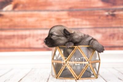 puppy29 week2 BowTiePomsky.com Bowtie Pomsky Puppy For Sale Husky Pomeranian Mini Dog Spokane WA Breeder Blue Eyes Pomskies photo-photo_fb-2