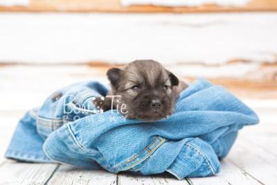 puppy29 week2 BowTiePomsky.com Bowtie Pomsky Puppy For Sale Husky Pomeranian Mini Dog Spokane WA Breeder Blue Eyes Pomskies photo-photo_fb-4