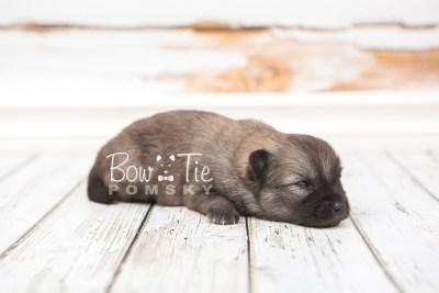 puppy29 week2 BowTiePomsky.com Bowtie Pomsky Puppy For Sale Husky Pomeranian Mini Dog Spokane WA Breeder Blue Eyes Pomskies photo-photo_fb-7