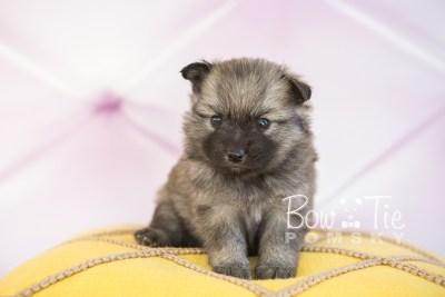 puppy29-week4-bowtiepomsky-com-bowtie-pomsky-puppy-for-sale-husky-pomeranian-mini-dog-spokane-wa-breeder-blue-eyes-pomskies-photo_fb-29