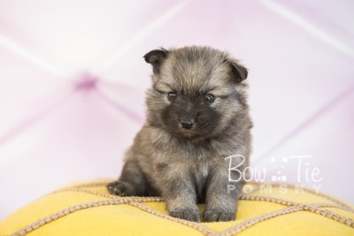 puppy29-week4-bowtiepomsky-com-bowtie-pomsky-puppy-for-sale-husky-pomeranian-mini-dog-spokane-wa-breeder-blue-eyes-pomskies-photo_fb-29