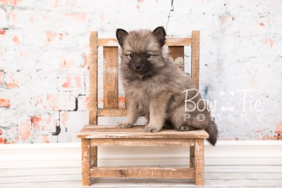 puppy29-week6-bowtiepomsky-com-bowtie-pomsky-puppy-for-sale-husky-pomeranian-mini-dog-spokane-wa-breeder-blue-eyes-pomskies-photo_fb-38
