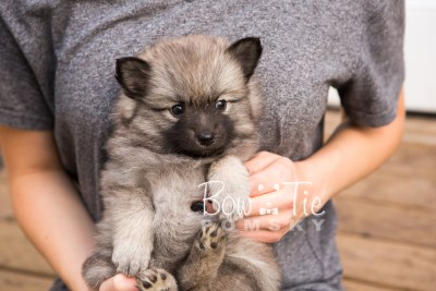 puppy29-week6-bowtiepomsky-com-bowtie-pomsky-puppy-for-sale-husky-pomeranian-mini-dog-spokane-wa-breeder-blue-eyes-pomskies-photo_fb-42
