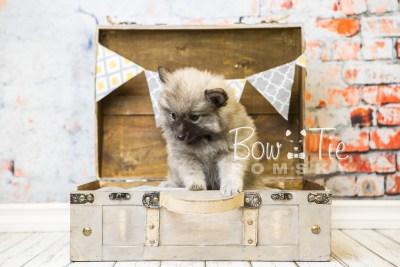 puppy29-week8-bowtiepomsky-com-bowtie-pomsky-puppy-for-sale-husky-pomeranian-mini-dog-spokane-wa-breeder-blue-eyes-pomskies-bowtie_pumsky_fb-0680