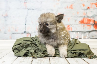 puppy29-week8-bowtiepomsky-com-bowtie-pomsky-puppy-for-sale-husky-pomeranian-mini-dog-spokane-wa-breeder-blue-eyes-pomskies-bowtie_pumsky_fb-0716