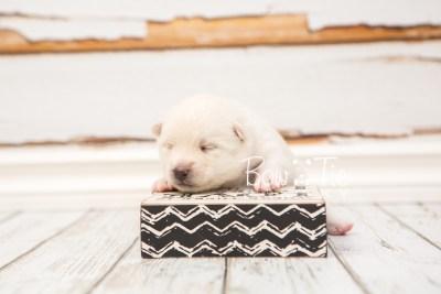 puppy30 week2 BowTiePomsky.com Bowtie Pomsky Puppy For Sale Husky Pomeranian Mini Dog Spokane WA Breeder Blue Eyes Pomskies photo-photo_fb-6