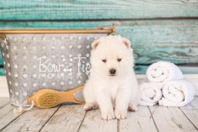 puppy30-week4-bowtiepomsky-com-bowtie-pomsky-puppy-for-sale-husky-pomeranian-mini-dog-spokane-wa-breeder-blue-eyes-pomskies-photo_fb-37