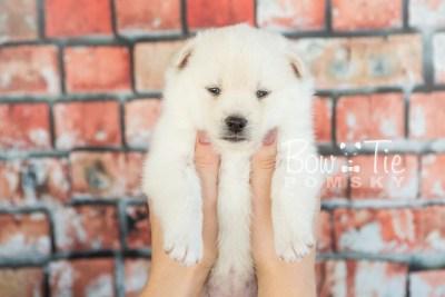 puppy30-week4-bowtiepomsky-com-bowtie-pomsky-puppy-for-sale-husky-pomeranian-mini-dog-spokane-wa-breeder-blue-eyes-pomskies-photo_fb-39