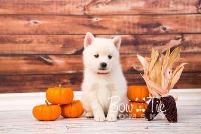 puppy30-week6-bowtiepomsky-com-bowtie-pomsky-puppy-for-sale-husky-pomeranian-mini-dog-spokane-wa-breeder-blue-eyes-pomskies-photo_fb-45