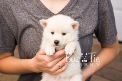 puppy30-week6-bowtiepomsky-com-bowtie-pomsky-puppy-for-sale-husky-pomeranian-mini-dog-spokane-wa-breeder-blue-eyes-pomskies-photo_fb-49