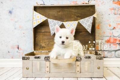 puppy30-week8-bowtiepomsky-com-bowtie-pomsky-puppy-for-sale-husky-pomeranian-mini-dog-spokane-wa-breeder-blue-eyes-pomskies-bowtie_pumsky_fb-0761