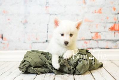 puppy30-week8-bowtiepomsky-com-bowtie-pomsky-puppy-for-sale-husky-pomeranian-mini-dog-spokane-wa-breeder-blue-eyes-pomskies-bowtie_pumsky_fb-0769