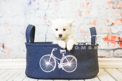 puppy30-week8-bowtiepomsky-com-bowtie-pomsky-puppy-for-sale-husky-pomeranian-mini-dog-spokane-wa-breeder-blue-eyes-pomskies-bowtie_pumsky_fb-0781