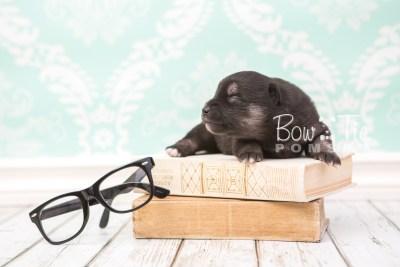 puppy31 week2 BowTiePomsky.com Bowtie Pomsky Puppy For Sale Husky Pomeranian Mini Dog Spokane WA Breeder Blue Eyes Pomskies photo-photo_fb-1