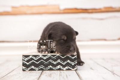 puppy31 week2 BowTiePomsky.com Bowtie Pomsky Puppy For Sale Husky Pomeranian Mini Dog Spokane WA Breeder Blue Eyes Pomskies photo-photo_fb-6
